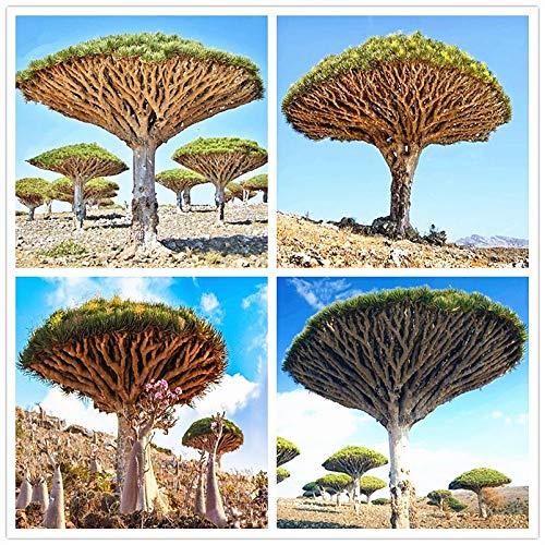 HONIC 30Pcs Tasche Drachenblut Baum Pflanze Dracaena Sanderiana Dracaena Bäume Vier Jahreszeiten Evergreen ausdauernde Pflanzen Baum Bonsai Plantin: Mix