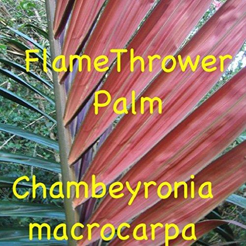 FERRY Bio-Saatgut Nicht nur Pflanzen: ~ PM ~ Chambeyronia macrocarpa Red Leaf Pm 100 Samen Seltene Samen