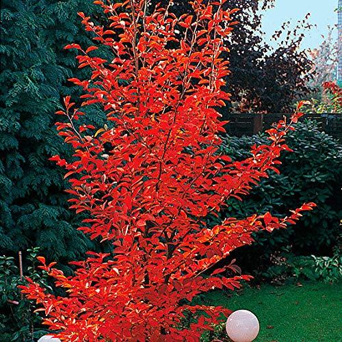 Qulista Samenhaus - Rarität 20pcs Rot Scheinkamelie Strauch Blumensamen winterhart mehrjärhig für Garten, Terrasse und Balkon