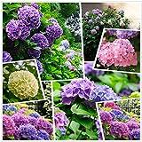 Grandi semi di ortensia Fiori che cambiano colore Multicolore (30 g) Fiori a quattro stagioni Nano da giardino all'aperto
