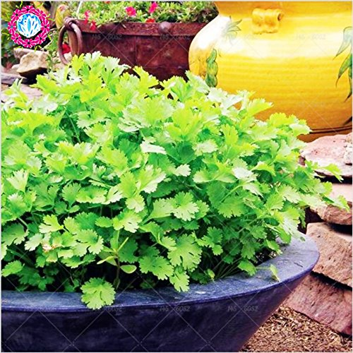 50pcs chaud/sac Coriandre herbe persil en pot Graines vert Healthiy herbes à rendement élevé légumes Fructueux Spices Garden Bonsai usine