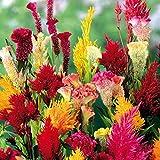 AIMADO sementi giardino - raro Celosia plumosa nana in miscuglio brillante (Semente) Mix seme fiore sementi per giardino Indicata per aiuole, bordure e da recidere