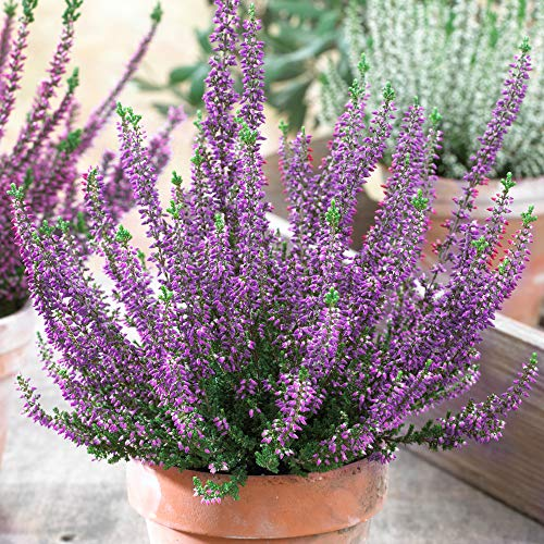 Calluna Beauty Ladies Purple Heathers | Evergreen Flowering Outdoor Garden Plant (6 Pack)