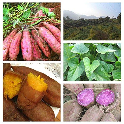 Kalash nuevo 50pcs semillas de patata dulce vegetales para jardinería de color Multi 2