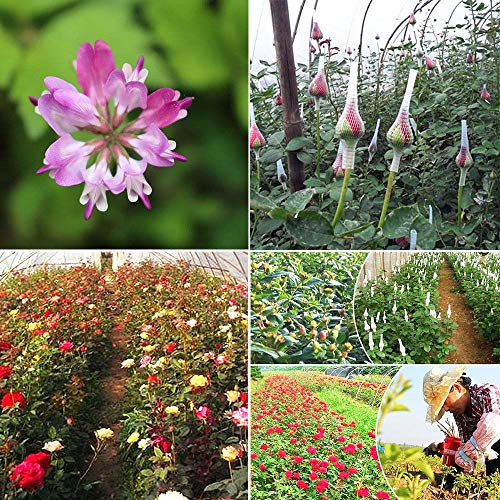 Portal Cool Hängende Fuchsia Blumensamen 20 Samen Pink Pink Fuchsia Magellanica Boliviana
