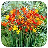 Crocosmia Small Flowering Bulb Mix x 25 Orange Yellow red by Growtanical®