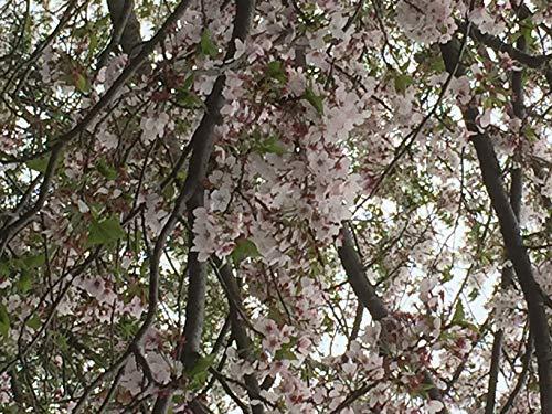 桜: Cherry blossom