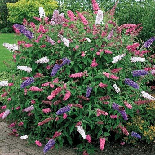 Schmetterlingsflieder Tricolor * Pflanze