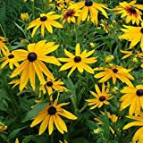 Large Pack of 100,000 Seeds, Black-Eyed Susan (Rudbeckia Hirta) Non-GMO Flower Seeds by Seeds2Go