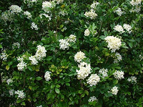 Murraya Paniculata - Orange Jasmine - Extremely Fragrant Flowers jocad (5 Seeds)