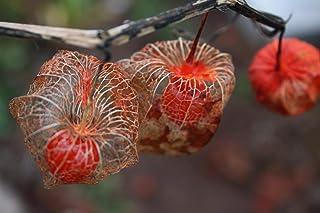 10 Semillas de Physalis Alkekengi linterna china