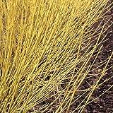 Arctic Fire Yellow - Cornus sericea - Redtwig Dogwood - Proven Winners - 4' Pot