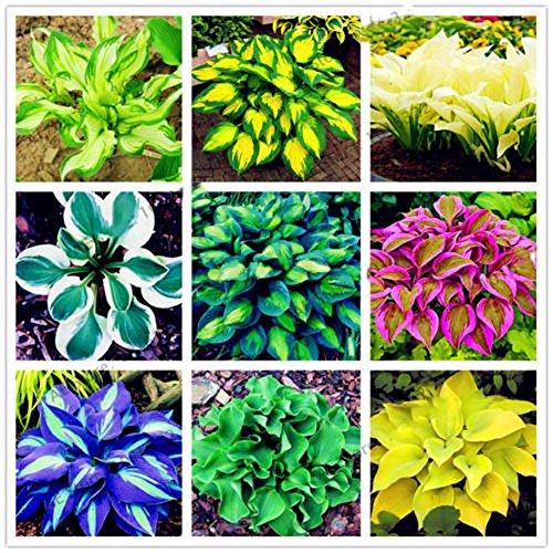 Hosta Plantaginea Samen/Feuer Eis Schatten – Garten Blumensamen Bonsai Pflanze Home Office Decor
