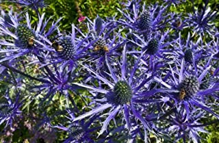 SAPPHIRE BLUE SEA HOLLY 103 SEEDS, AMAZING METALLIC BLUE FLOWERS AND STEMS