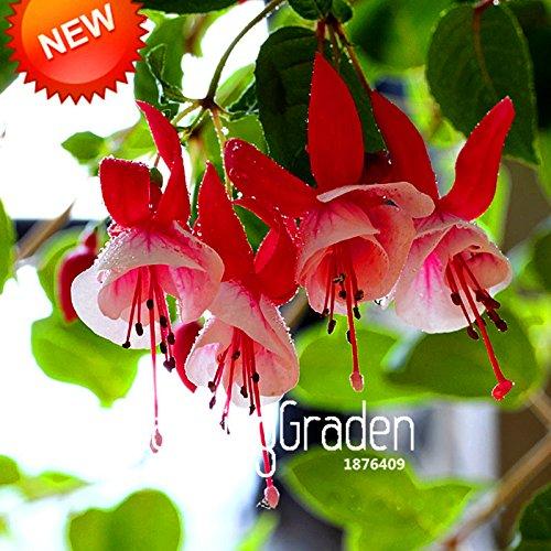 Vente! Multicolor Rose Petals Double Fuchsia Seeds Graines Plantes en pot de fleurs Hanging Fuchsia Fleurs 50 PCS / Bag, # 4UFPZ0