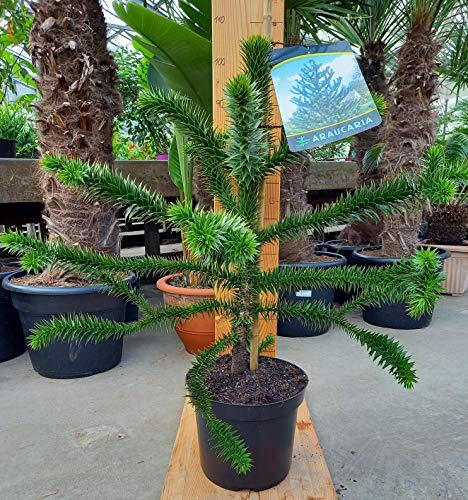 Araucaria Araucana - Schmucktanne - chilenische Andentanne - Araukarie - PREMIUM 95-110 cm