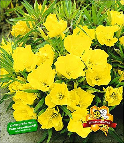 BALDUR Garten Nachtkerze, 3 Pflanzen Oenothera winterhart Blütenstaude