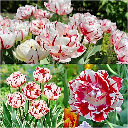 10 x 'Carnaval De Nice' Double Late Peony Tulip Bulbs - Tulips Spring Flowering Bulbs - Tulipa Garden Perennials - Plants Bulbs Flowers - for Tubs & Cut Flower Or Flowerbeds - (Free UK P&P)