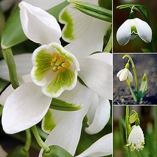 lamta1k 200 Piezas campanillas de Nieve Calidad de semilla de Galanthus y Altas tasas de Supervivencia Bulbos de Oto?o Cultivo de jardiner¨ªa Flor de Primavera