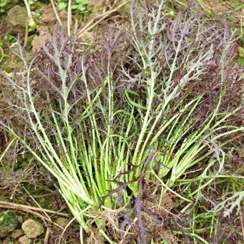 HONIC 100pcs Lila Senfkörner seltene Pflanzen Ernährung Gemüse Samen