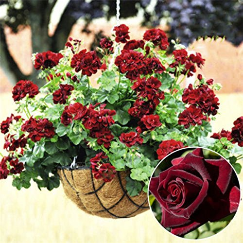 20 Pcs rares Géranium Black Seeds Rose Pelargonium vivace Graines de fleurs Hardy Plante Bonsai Plante en pot