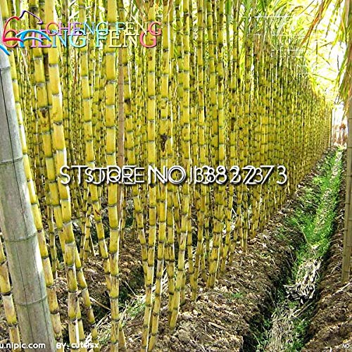 Shopvise 100 Pcs Sweet Natural Sugar Cane Seed Saccharum Officinarum Seed Rare Fruit Home * Fruits Bamboo Gigante : Clear