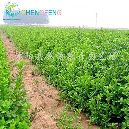 30pcs sauvage chinois Rosa Roxbunghii Graines Miracle Rare Plantes Fruit Bonsai poirier Sementes SeedsAndPlants Belle Fleur