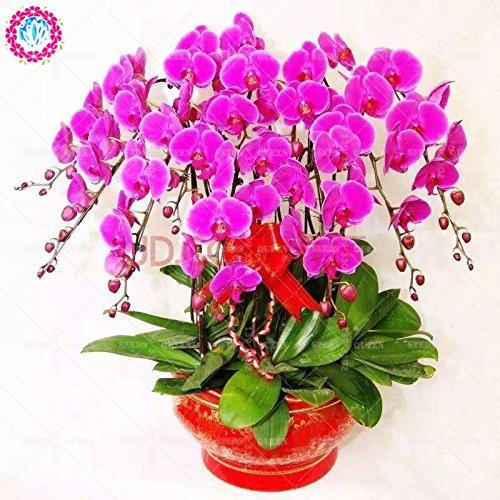 11.11 Big Promotion! 100 pcs/lot rares graines de Phalaenopsis colorées graine de bonsaïs fleur arbre chinois jardin et la maison plante herbe organique 1