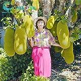 Homely Semillas tropicales 5 piezas de semillas gigantes de Jackfruit Bonsái, frutales milagrosos * Arbre Fruitier En Pot Garden Seed P