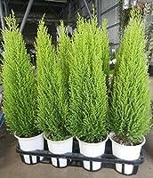 コニファー ゴールドクレスト ウィルマ 11鉢セット (4号) / 庭木 セット販売 まとめ買い ガーデンニング まとめ売り