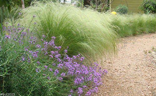 Stipa tenuissima Seeds - Mexican Feather Grass, Perennial Ornamental Grass(100 Seeds)
