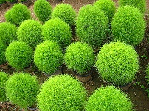 Livraison gratuite 100 graines Kochia, broomsedge F013 de graines de feuillage