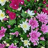 Pflanzen Kölle Chrysanthemen Trio 'Carneval', formschön mit kräftigem Wuchs, 6er-Set, weiß, rosa, lila