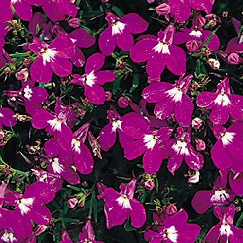 Outsidepride Lobelia Rosamond - 5000 Seeds
