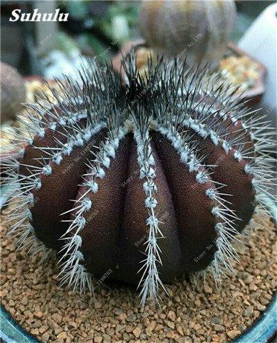 100 Pcs vrai Graines de Cactus mixte, intérieur Mini Cactus, Figuier, Graines Bonsai Fleur, Plante en pot pour jardin So Rare 15