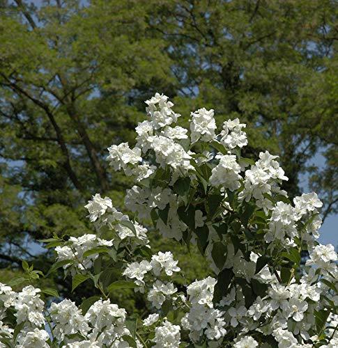 Gefüllter Gartenjasmin 40-60cm -...