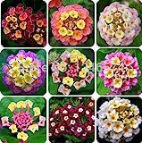 50 PC/bolso, semillas de Lantana, de semillas en macetas, semillas de flores, jardín del hogar del envío