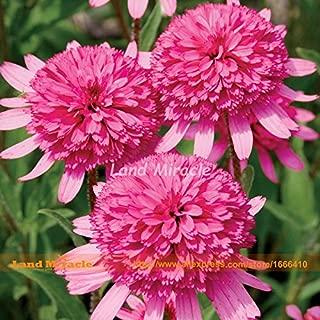 pink double coneflower