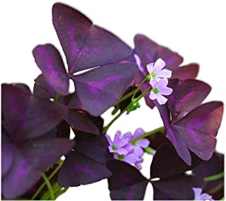 Oxalis Triangularis Bulbs - Purple Shamrocks - 20 Robust Bulbs - Grows Indoors & Out | Ships from Easy to Grow TM