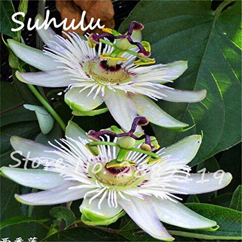 Exotische Passionsfrucht Samen 60 Partikel Lila Passiflora edulis Passionsblumensamen-DIY Hausgarten Pflanz Outdoor-Anlage 9