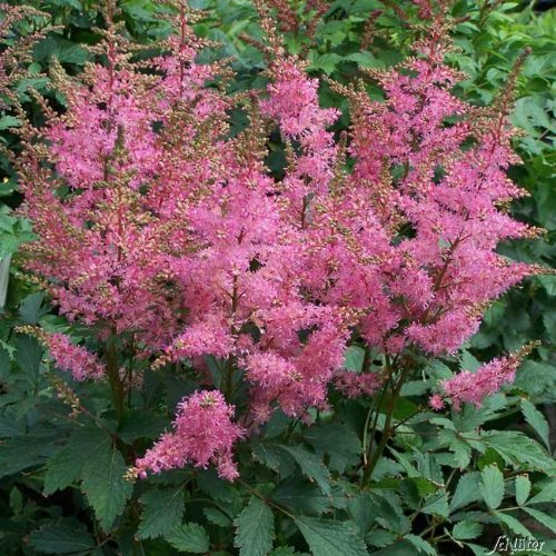 Rosa Prachtspiere (Astilbe arendsii 'Astary Pink') - 1 Pflanze
