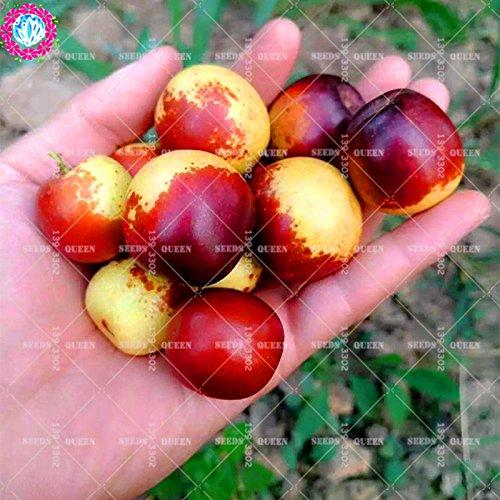 11.11 Promoción grande! 10 PC / porción roja semillas de palmera datilera...