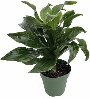 Best dracaena twister plant Reviews