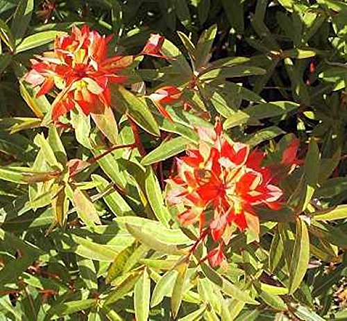 Himalaja Wolfsmilch Dixter - Euphorbia...