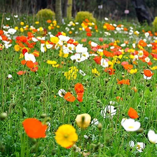 Wildflower Cosmos Colorful Seeds 100+ Organic Like Shade Flower Perenne Fresco Fácil de cultivar para abejas y mariposas Plantas Semillas para plantar Jardín Patio exterior