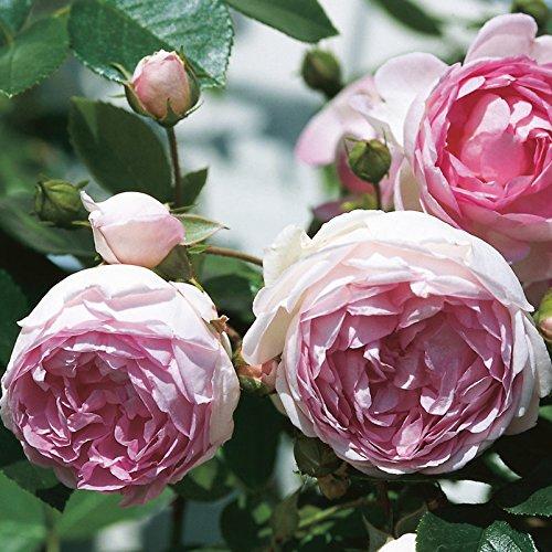 "Kletterrose ""Jasmina (Premium) - violett-rosa blühende Topfrose im 6 L Topf - frisch aus der Gärtnerei - Pflanzen-Kölle Gartenrose"