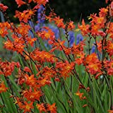 CROCOSMIA 'Prince of Orange'. 9cm Pot. Perennial Flowers.