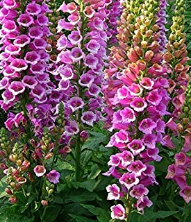 10,000 Foxy Excelsior Foxglove Seeds
