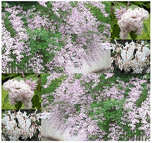 (20) lilas de loup, Syringa Wolfii Seeds - FOOT Les fleurs odorants