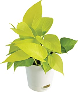 """Ugaoo Golden Money Plant with Self Watering Flower Pot, Pot Height 4"""" and Plant Height 6"""", Pack of 1"""